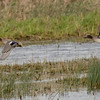 Eurasian or Common Teal (Anas crecca) photographed at RSPB Mersehead.