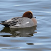 Wigeon (Anas penelope) photographed at WWT Caerlaverock, Scotland.
