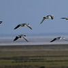 Barnacle Geese (Branta leucopsis) in flight