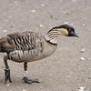 Nene or Hawaiian Goose (Branta sandvicensis)