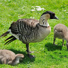 Nene or Hawaiian Goose (Branta sandvicensis)