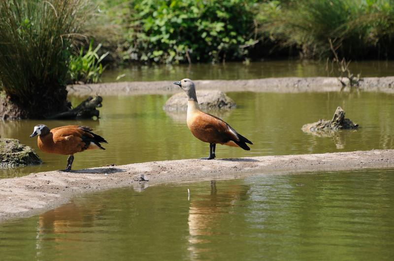 Ashy-headed Goose (Chloephaga poliocephala)
