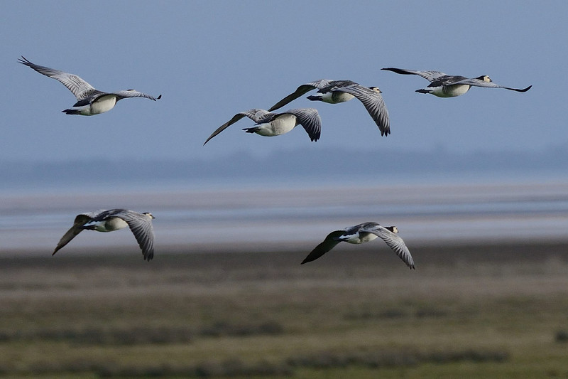 Barnacle Geese (Branta leucopsis) in flight