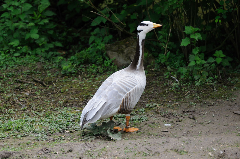 Bar-headed Goose (Anser indicus). Bar-headed Geese nest mainly on the Tibetan Plateau during the Summer. They migrate over the Himalayas to winter in South Asia and are the world's highest flying birds.