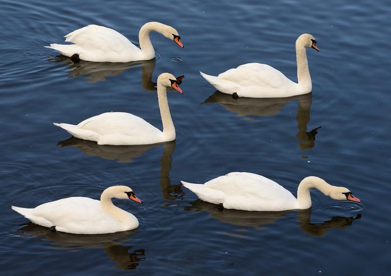 Mute Swans (Cygnus olor) at Caerlaverock