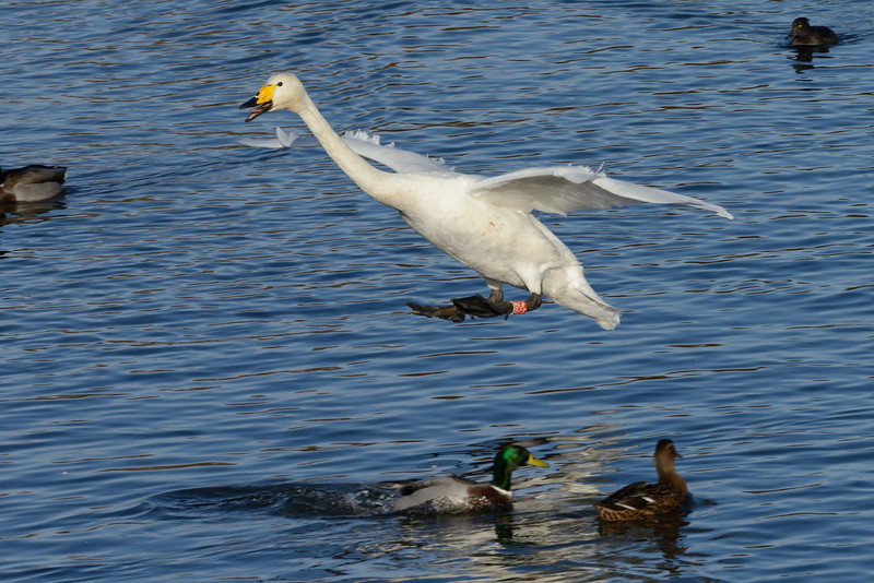 Whooper Swan (Cygnus cygnus) coming in to land.