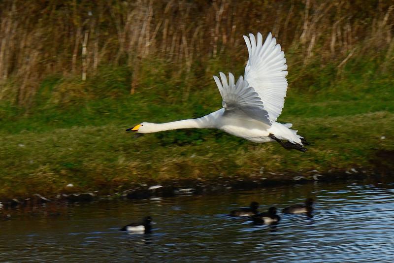 Whooper Swan (Cygnus cygnus) in flight.