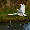 Whooper Swan (Cygnus cygnus) in flight.