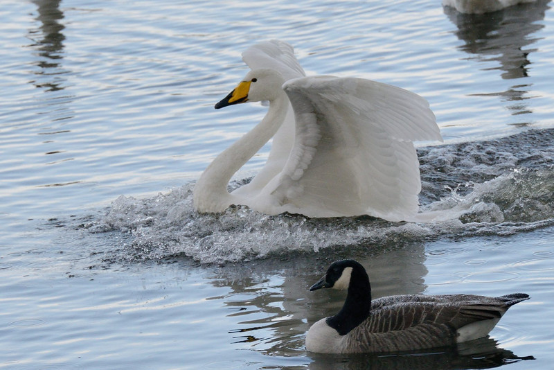 Whooper Swan (Cygnus cygnus) made it!