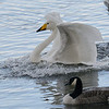 Whooper Swan (Cygnus cygnus) made it!