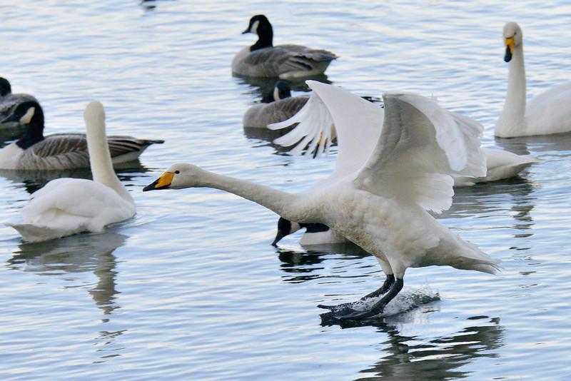 Whooper Swan (Cygnus cygnus) touch-down!