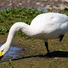 Whooper Swan (Cygnus cygnus) at Slimbridge.