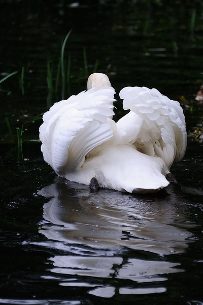 Mute Swan (Cygnus olor) photographed in Nailsworth Gloucestershire.
