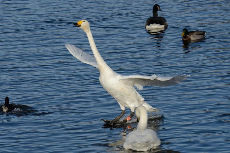 Whooper Swan (Cygnus cygnus) water ski-ing!