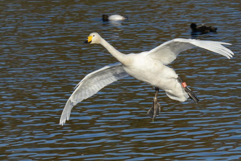 Whooper Swan (Cygnus cygnus) coming in to land.