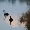 Black Swan (Cygnus atratus) photographed in Maymyo, Burma (Myanmar).