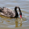 Black Swan (Cygnus atratus) photographed at Slimbridge