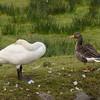 Whooper Swan (Cygnus cygnus) and Greylag Goose (Anser anser)