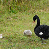 Black Swan with cygnets (Cygnus atratus) photographed in Maymyo, Burma (Myanmar).