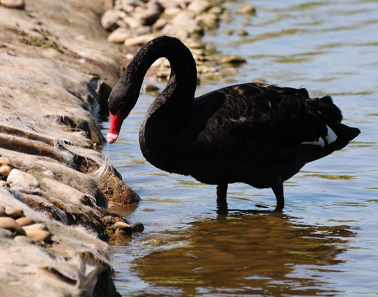 Black Swan (Cygnus atratus) photographed at Slimbridge