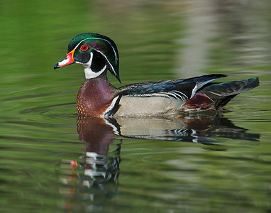 Wood Duck, Wichita Mountains Wildlife Refuge, OK