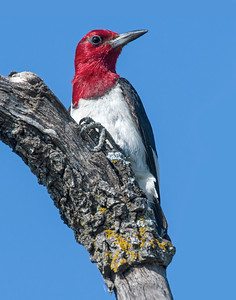 Red-headed Woodpecker, Wichita Mountains National Wildlife Refuge, OK