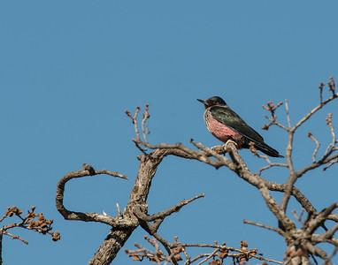 Lewis's Woodpecker, Taylor Lake, OK