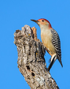 Red-bellied Woodpecker, Wichita Mountains National Wildlife Refuge
