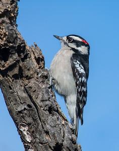 Downy Woodpecker, Wichita Mountains National Wildlife Refuge, OK