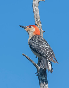 Red-bellied Woodpecker, Wichita Mountains National Wildlife Refuge
