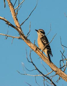 Hairy Woodpecker, Wichita Mountains Wildlife Refuge, OK