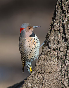 Northern Flicker, Grand Lake, OK