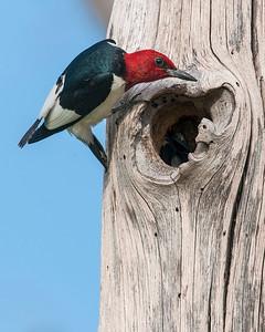 Red Headed Woodpecker, Wichita Mountains Wildlife Refuge, OK