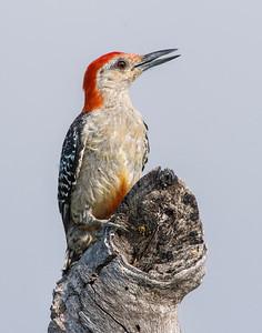 Red-bellied Woodpecker, Wichita Mountains National Wildlife Refuge, OK
