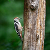 Middle Spooted Woodpecker