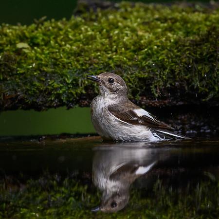 Collared Flycatcher (female)