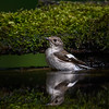 Collared Flycatcher (female)