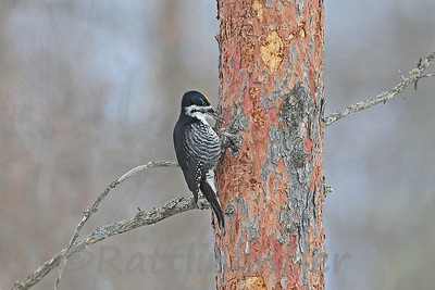 Black-Backed Woodpecker ♂