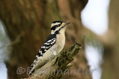 Downy Woodpecker ♀