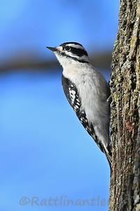 Downy Woodpecker ♀