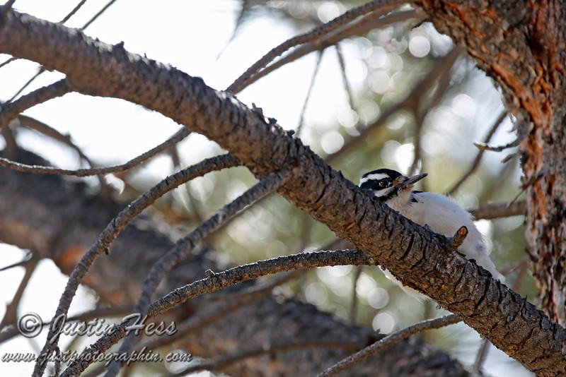 Peek-a-boo - Female Hairy Woodpecker