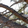 Peek-a-boo - Female Hairy Woodpecker