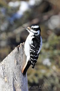 Hairy Woodpecker ♀