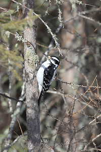 Hairy Woodpecker ♀