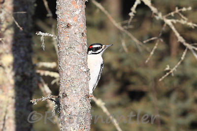 Hairy Woodpecker ♂