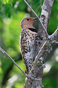 Northern Flicker ♀