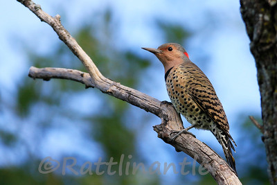 Northern Yellow-Shafted Flicker ♀
