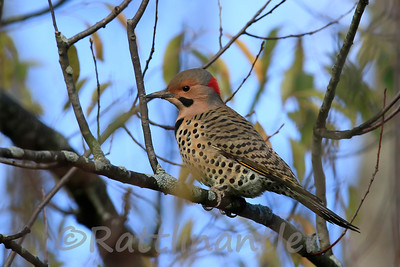 Northern Yellow-Shafted Flicker
