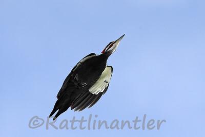 Pileated Woodpecker - ♂