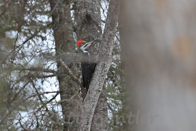 Pileated Woodpecker ♀